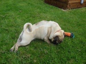 phoca_thumb_l_toto the pug 006